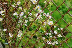 A view of the chamomiles through a rusty fence chain link Royalty Free Stock Images