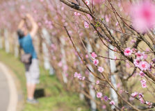 View of cherry blossom.  Selective focus. Stock Photography