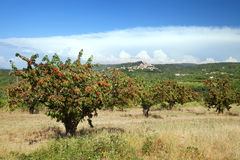 The view of cherry farm in Provence Royalty Free Stock Photos