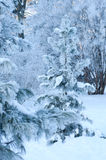 View of Christmas trees through snow Royalty Free Stock Photography