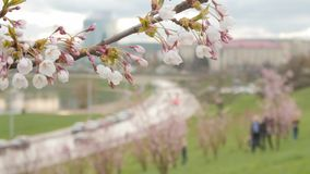A view on the city street through blooming branch. A view on the city street through  blooming white sakura branch.Selective focus stock video
