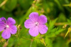 View from close range on azalea purple pink stock photos