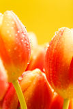 view close-up of buds on red tulips Royalty Free Stock Images