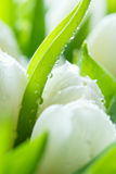 View close-up of buds on white tulips Stock Image