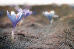 View of close-up magic spring flowers crocus in sunlight. stock photos
