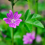 View close up of the wild flower of a Mallow with natural background. Malva Silvestris Royalty Free Stock Images