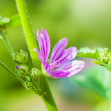 View close up of the wild flower of a Mallow with natural background. Malva Silvestris Stock Photo