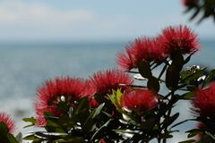 Pohutakawa flowers growing on a West Coast beach. A view from the Coast Road on New Zealand`s West Coast north of Greymouth, rated as one of the top ten scenic Stock Photo