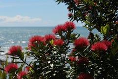 Pohutakawa flowers growing on a West Coast beach stock image