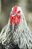 View of a cock`s head Royalty Free Stock Photos