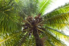 View of the coconut palm from below in the light of the sun in the sunlight. stock images