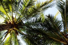 The view on the coconut palm trees on a background of a blue sky. Bangkok, Thailand Stock Photos