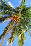The view on the coconut palm trees on a background of a blue sky. Koh Chang, Thailand Stock Photo