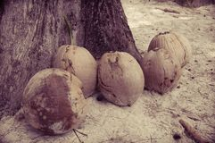 View of coconuts on sandy beach Stock Image