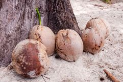 View of coconuts on sandy beach Royalty Free Stock Photo