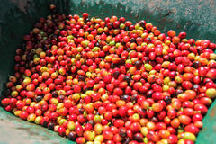 View of the coffee cherries Royalty Free Stock Images
