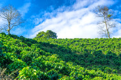 View of Coffee Plants Royalty Free Stock Images
