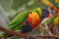Colorful Lorikeets Perched on a Branch royalty free stock images