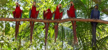Colorful macaw parrots in the aviary. View of the colorful macaw parrots in the aviary royalty free stock image