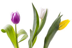View of colorful tulip flowers Royalty Free Stock Image