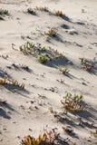 Beach vegetation. View of common vegetation on the portuguese beaches Royalty Free Stock Photo