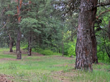 Coniferous forest. View on coniferous forest at summer Stock Image