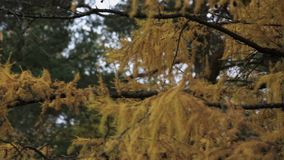 View of coniferous tree with yellow leaf in autumn day. Park. Green trees. Nature stock video footage
