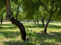 View of cork trees within a shady glade outside the town of El Chaparrito, near  the Parque natural de la Sierra de Grazalema, royalty free stock images