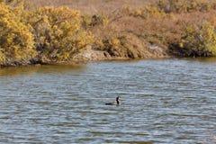 View of cormorant in Evros river, Greece. Royalty Free Stock Photos