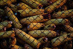 View of corn cob in a box with metallic greed royalty free stock images