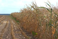 View of a corn field with brown and dried out cornstalks Zea mays due to lack of water. View of a corn field with brown and dried out cornstalks Zea mays due to Royalty Free Stock Photos