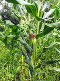 View of a corn plant with two ears of corn stock image