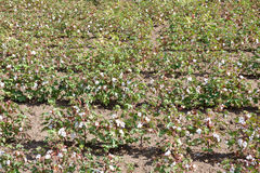 View of a cotton field. Green cotton field Royalty Free Stock Image