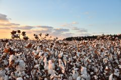 Cotton field. View of cotton field at sunset royalty free stock images