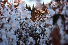 Cotton field. View of cotton field at sunset stock photos
