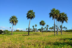 View of the countryside with royal palms - Countryside Cuba Royalty Free Stock Images