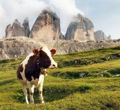 View of cow and mount Tre Cime or Drei Zinnen Royalty Free Stock Photo