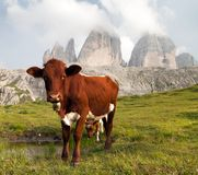 View of cow and mount Tre Cime or Drei Zinnen Royalty Free Stock Image