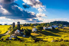 View of cows on a farm in the rolling hills of rural York County Royalty Free Stock Photography