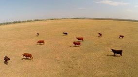View of cows on pasture stock footage