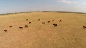 View of cows on pasture stock video footage