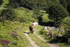View of cows on a road at high plateau. royalty free stock photography