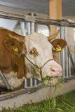 Visit to the cowshed. View into the cowshed - feeding a red-spotted cow Stock Photos