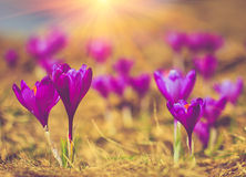 View of crocus flowers of the evening rays in close-up. Crocus flowers in the warm rays of spring Royalty Free Stock Image