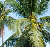View of the crown of a palm tree with coconuts below. blue sky. exotic trees. vacation in asia royalty free stock photos