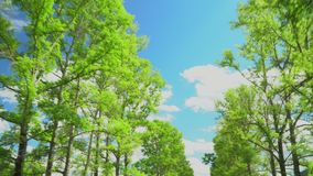 View of crowns and of the blue sky. The camera moves. stock video footage