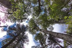 View of crowns and sky from below. View of crowns and the sky from below in the wood of Conguillio National Park in Chile Stock Images