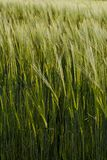 Cultivated Barley Field In Spring royalty free stock photos