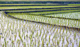 View of cultivated field. Of rice in rural area of Bangladesh stock image