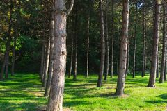 View of a cultivated pine tree forest. And fresh grass during a sunny autumn day stock photography